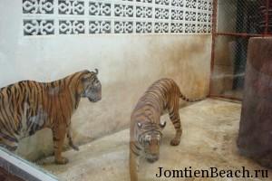 тигры паттайя