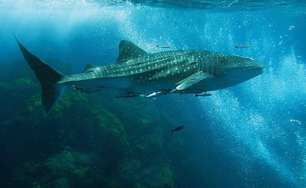 есть ли акулы в таиланде