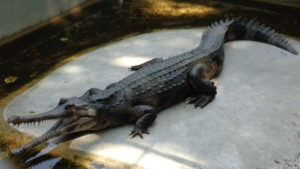 крокодиловая ферма паттайя